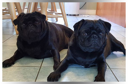 Two black pugs lying on kitchen floor in Mississauga home