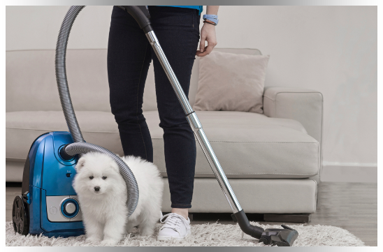 Woman cleaning carpet with vacuum beside fluffy white dog